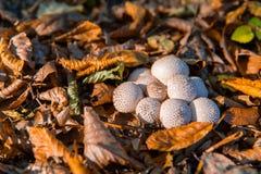 Il perlatum del lycoperdon è conosciuto come palloncino comune fotografia stock libera da diritti
