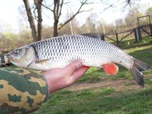 Il pescatore sulla sua mano tiene un pesce Cavedano, primo piano fotografia stock