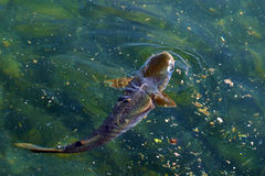 Il pesce è salito alla superficie dell'acqua Fotografia Stock Libera da Diritti