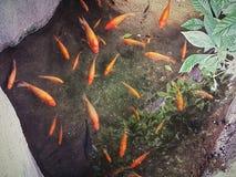 Il pesce arancio spruzza fotografia stock libera da diritti