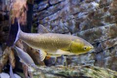 Il pesce bianco dell'Amur nel grande acquario fotografia stock libera da diritti