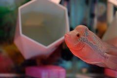 Il pesce che cerca un certo alimento Fotografia Stock