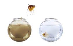 Il pesce che salta dalla sua ciotola inquinante Fotografia Stock Libera da Diritti