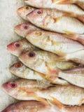 Il pesce congelato, cinque ha allineato l'orata del threadfin, sul ghiaccio al marke del pesce Fotografie Stock