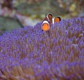 Il pesce del pagliaccio esamina la macchina fotografica Fotografia Stock