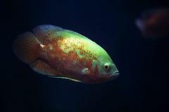 Il pesce dell'acquario Immagini Stock
