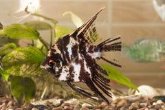 Il pesce dell'acquario sta nuotando nell'acqua con le piante verdi dietro immagini stock