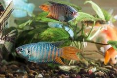 Il pesce dell'acquario sta nuotando nell'acqua con le piante verdi dietro fotografia stock libera da diritti