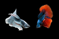 Il pesce di Betta sta combattendo, è bello colore Fotografie Stock