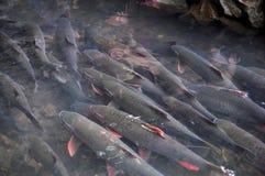 Il pesce di Dio di vietnamita sta nuotando nella corrente di Dio della camma Luong nella provincia di Thanh Hoa Fotografia Stock Libera da Diritti