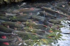 Il pesce di Dio di vietnamita sta nuotando nella corrente di Dio della camma Luong nella provincia di Thanh Hoa Immagine Stock Libera da Diritti