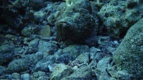 Il pesce di stupore nuota in rosso il mare video d archivio