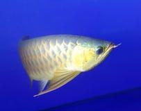 Il pesce dorato del drago gira intorno Fotografia Stock Libera da Diritti