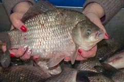 Il pesce fresco crucian è venduto al bazar Immagine Stock