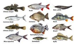 Il pesce ha isolato l'insieme, raccolta Fotografie Stock Libere da Diritti