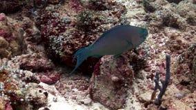 Il pesce pappagallo mangia i coralli underwater su fondo di fondale marino stupefacente in Maldive archivi video