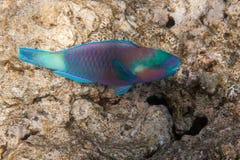 Il pesce pappagallo oscuro è subacqueo Fotografia Stock Libera da Diritti