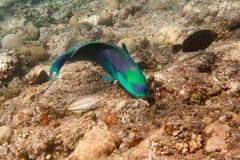 Il pesce pappagallo oscuro è subacqueo Immagine Stock