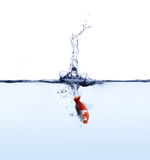 Il pesce rosso che salta in acqua blu isolata su fondo bianco fotografia stock