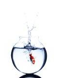 Il pesce rosso che salta in una ciotola isolata su fondo bianco Fotografia Stock