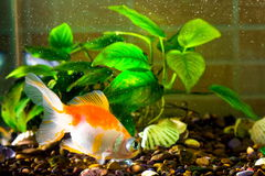 Il pesce rosso del pesce dell'acquario sta nuotando nell'acqua con la pianta verde fotografia stock libera da diritti