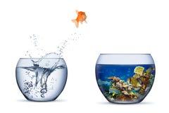 Il pesce rosso salta della ciotola nel fondo isolato concetto di libertà di probabilità del cambiamento del pesce di paradiso del fotografia stock