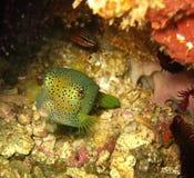 Il pesce tropicale sotto il mare è fra i coralli variopinti nelle Filippine immagini stock libere da diritti