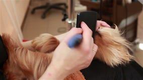 Il pettine del Groomer e l'asciugacapelli asciuga l'Yorkshire terrier dei capelli stock footage