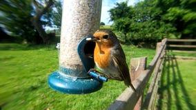 Il pettirosso europeo che si alimenta da un alimentatore del seme dell'arachide ad una tavola dell'uccello nel Regno Unito immagine stock
