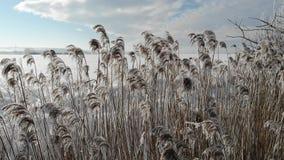 Il phragmites australis innevato sta ondeggiando nel vento, fine su Si sviluppa vicino all'acqua Orario invernale video d archivio