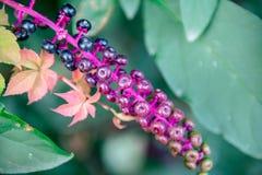 Il phytolacca decandra è una pianta perenne erbacea Immagine Stock