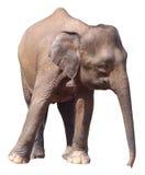 Il più piccolo elefante, elefante pigmeo prezioso del Borneo su fondo bianco fotografie stock libere da diritti