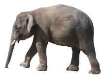 Il più piccolo elefante, elefante pigmeo prezioso del Borneo su fondo bianco fotografia stock