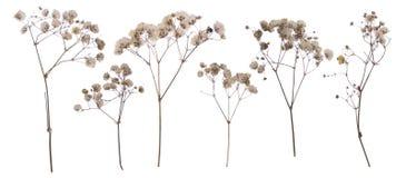 Il piano ha premuto il fiore secco isolato su bianco fotografia stock libera da diritti