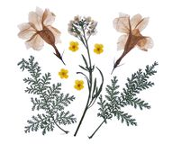 Il piano ha premuto il fiore secco isolato su bianco immagini stock libere da diritti