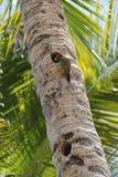 Il picchio alimenta l'uccellino implume su una palma fotografie stock