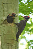 Il picchio nero alimenta i suoi pulcini Fotografie Stock Libere da Diritti