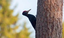 Il picchio nero maschio si siede su un tronco di pino fotografie stock