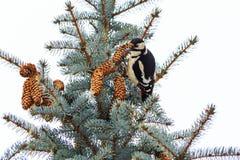 Il picchio si siede sull'albero con i coni immagine stock