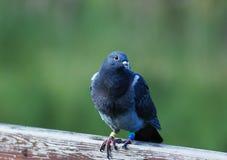 Il piccione Immagini Stock Libere da Diritti