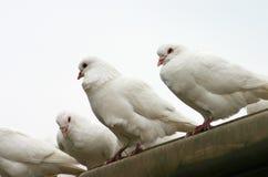 Il piccione Fotografia Stock
