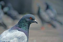 Il piccione 2 Fotografia Stock Libera da Diritti