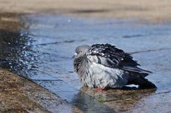 Il piccione bagnato nello spruzzo della fontana fotografia stock libera da diritti