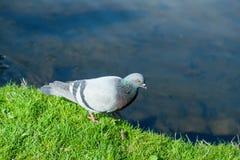 Il piccione cammina lungo il bordo della riva Fotografia Stock