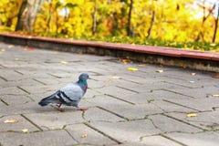 Il piccione cammina lungo la strada nel parco Fotografie Stock Libere da Diritti