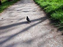 Il piccione con le piume nere cammina su una strada Immagine Stock