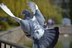 Il piccione decolla dal recinto Immagine Stock