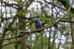 Il piccione della città si siede su un ramo in una foresta della molla Fotografie Stock