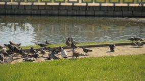 Il piccione dello spaccone prende l'alimento da altri uccelli - slowmo 180 fps archivi video