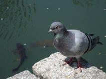 Il piccione e la carpa Fotografia Stock Libera da Diritti